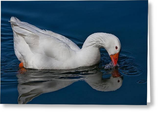 Snow Goose Reflected Greeting Card by John Haldane