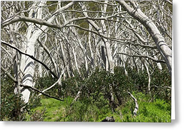 Snow Gums Regenerating After Fire Greeting Card by Dr Jeremy Burgess