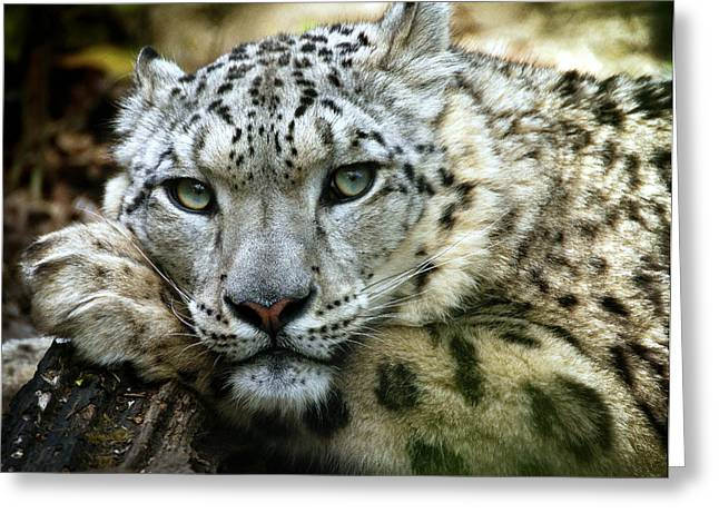 Snow Leopard Greeting Card by Chris Boulton