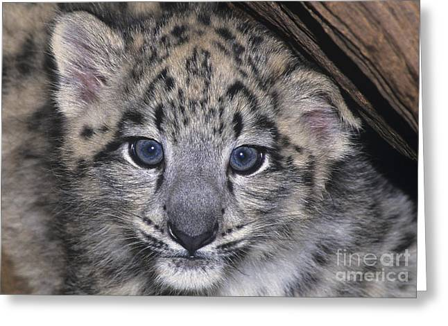Snow Leopard Cub Endangered Greeting Card