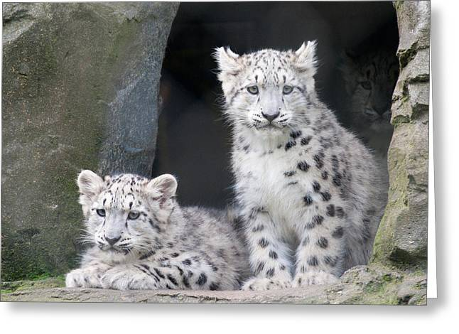 Snow Leopard Cubs Greeting Card by Chris Boulton
