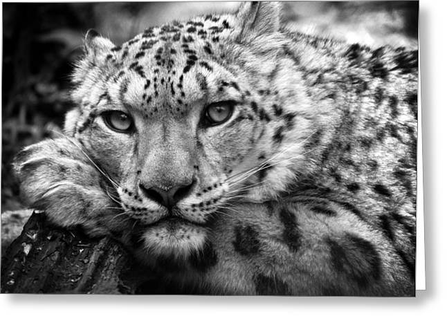 Snow Leopard In Black And White Greeting Card by Chris Boulton