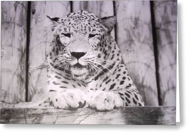 White Snow Leopard Chillin Greeting Card by Belinda Lee