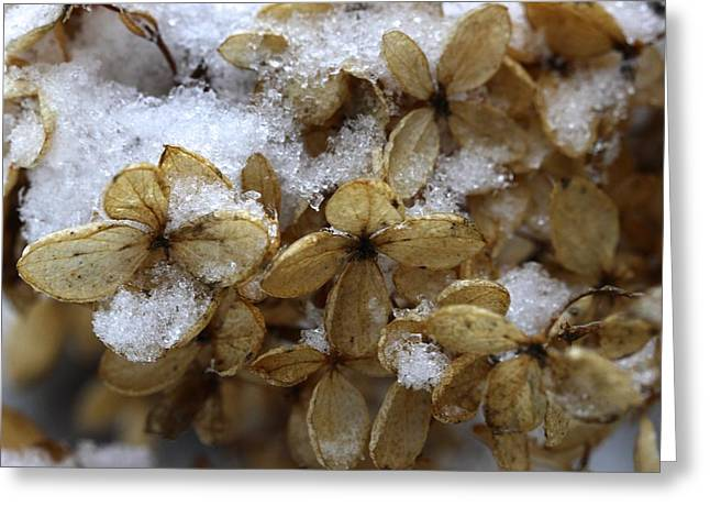 Snow On Hydrangea Greeting Card by Jim Gillen