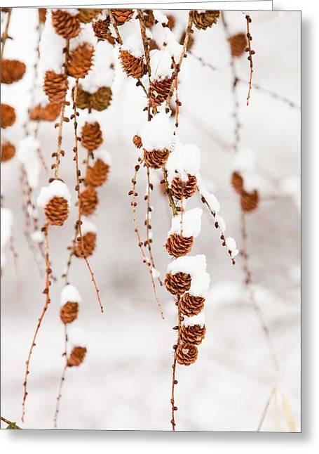 Snow On Larch Cones Greeting Card