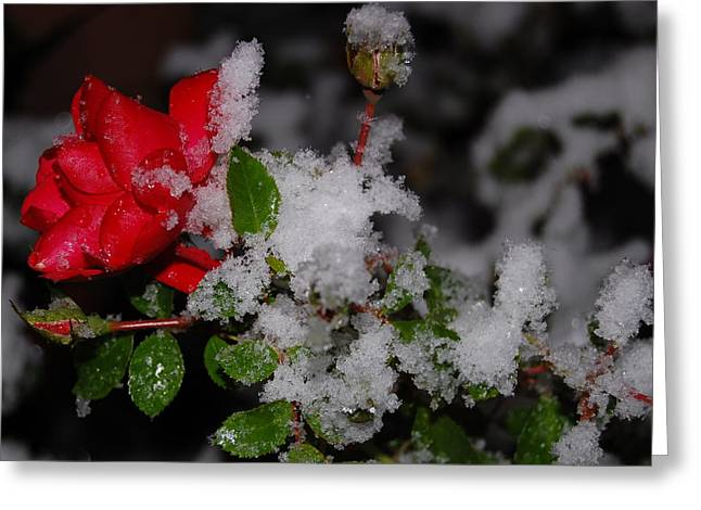 Greeting Card featuring the photograph Snow Rose by Mim White