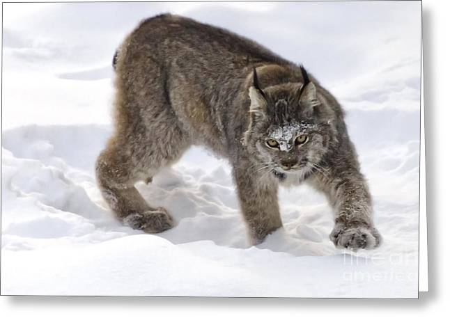 Snow-shovelling Lynx Greeting Card
