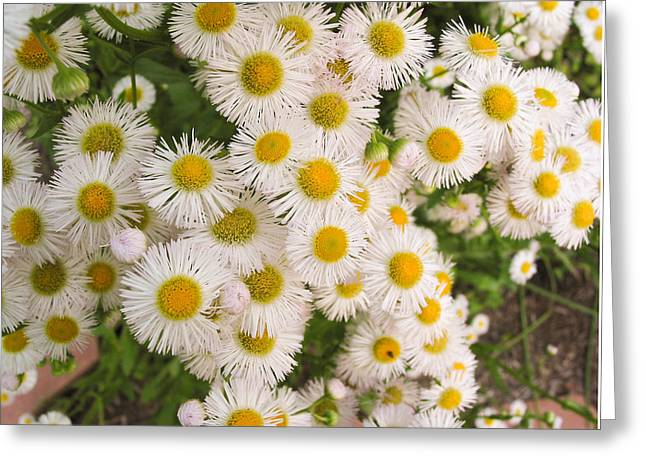 Snow White Asters Greeting Card by Allan Levin