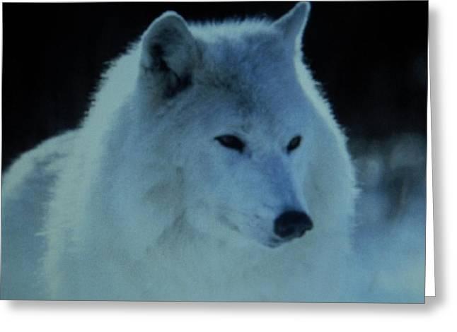 Snow White Wolf Greeting Card by Gunter  Hortz