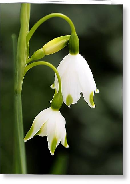 Snowbells In Spring Greeting Card