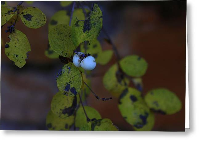 Snowberries Greeting Card by Dorothy Hall