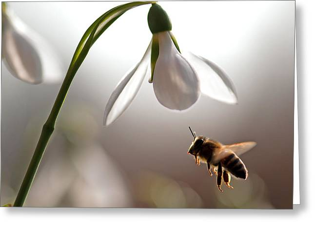 Snowdrops And The Bee Greeting Card