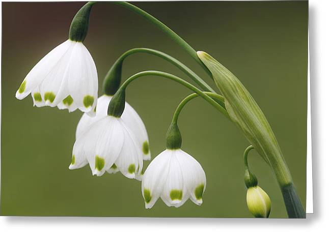Snowdrops Greeting Card by Jaki Miller