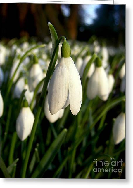 Snowdrops Greeting Card by Nina Ficur Feenan