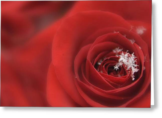 Snowflakes On A Rose Greeting Card by Lori Grimmett