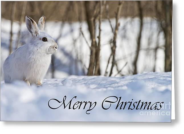 Snowshoe Hare Christmas Card 6 Greeting Card by Michael Cummings