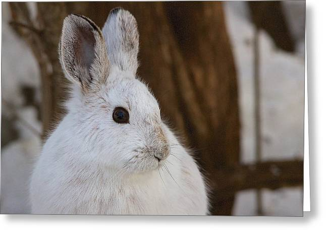 Snowshoe Hare Greeting Card by Nature and Wildlife Photography