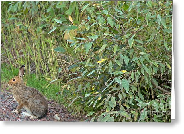 Snowshoe Hare In Montana Greeting Card by Natural Focal Point Photography