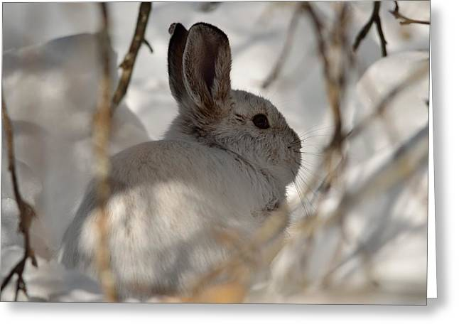 Snowshoe Hare Greeting Card by James Petersen