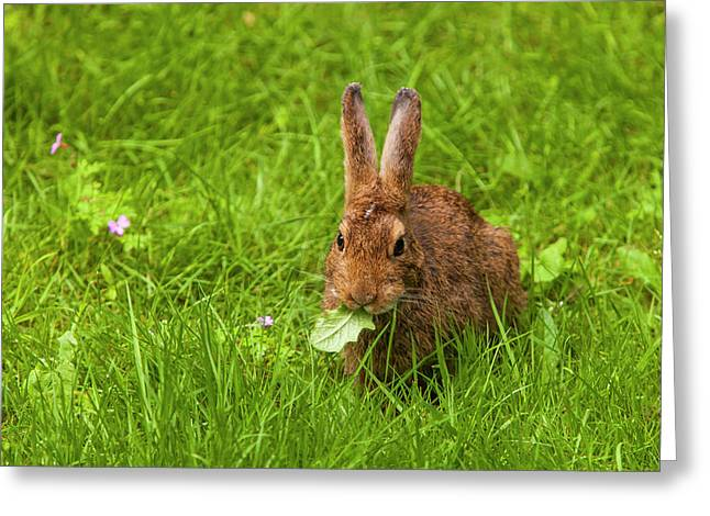 Snowshoe Hare Summer Phase Browsing Greeting Card