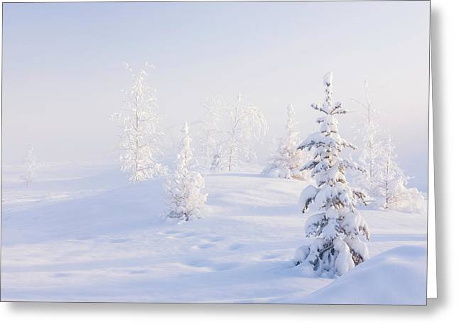 Snowy Birch And Evergreen Trees In An Greeting Card by Kevin Smith