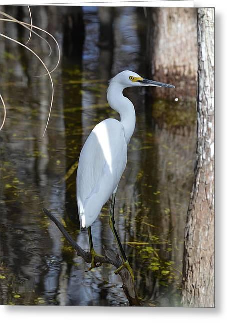 Snowy Egret Big Cypress Swamp Greeting Card