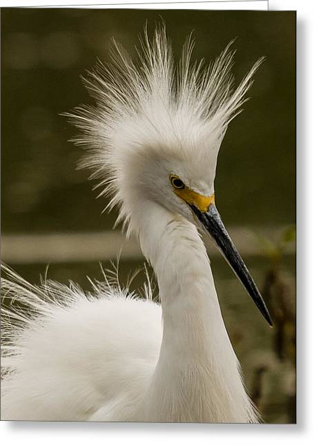 Snowy Egret Display Greeting Card