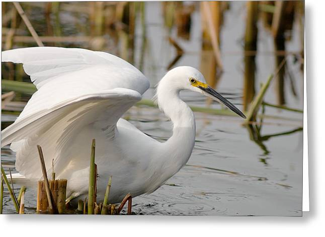 Greeting Card featuring the photograph Snowy Egret by Doug Herr