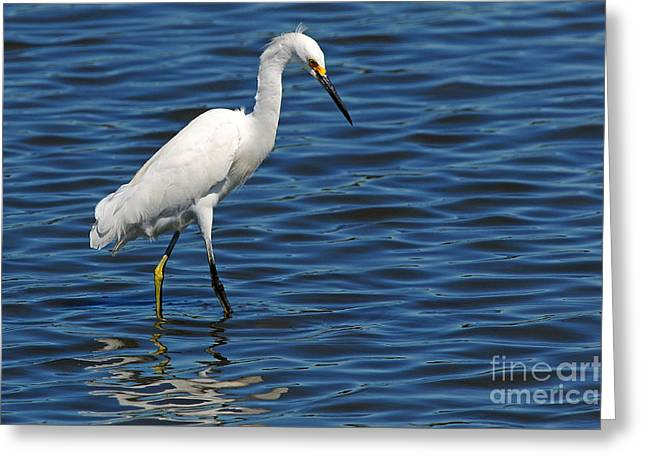 Greeting Card featuring the photograph Snowy Egret Foraging by Olivia Hardwicke
