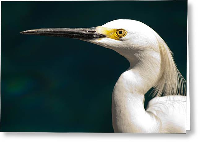 Snowy Egret Greeting Card