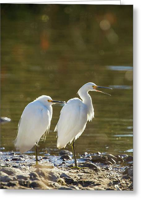 Snowy Egret Pair On The Shore Of Lake Greeting Card by Michael Qualls