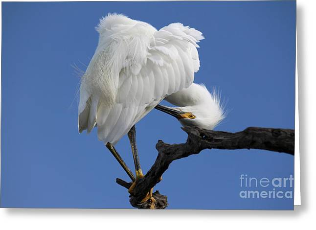 Greeting Card featuring the photograph Snowy Egret Photograph by Meg Rousher