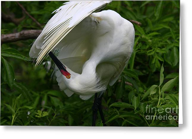 Snowy Egret Preening Greeting Card