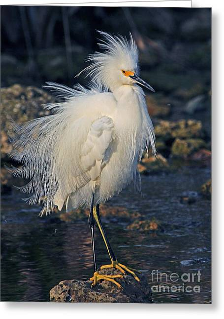 Snowy Egret Show Off Greeting Card