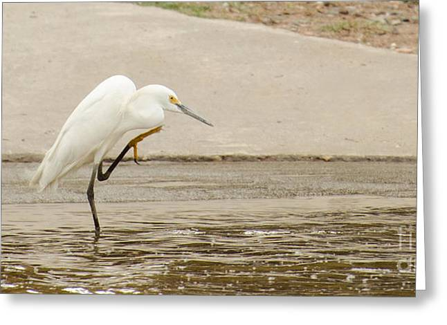 Snowy Egret Taking Advantage Of The Flood Greeting Card by Donna Brown