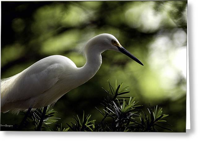 Greeting Card featuring the photograph Snowy Egret by Travis Burgess