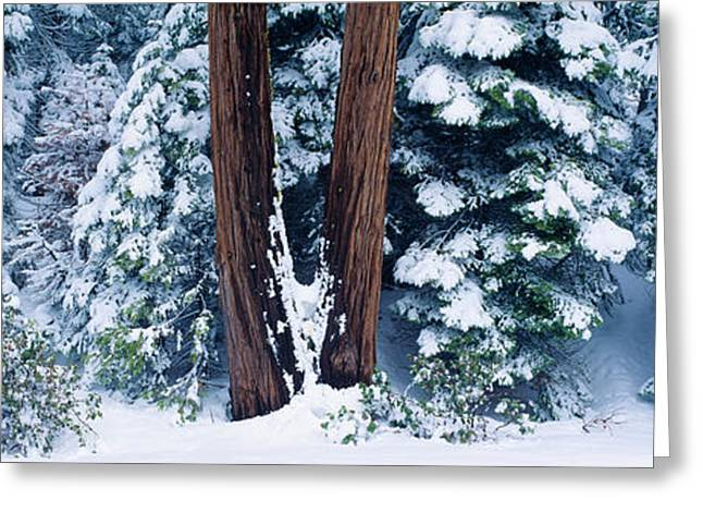 Snowy Forest In The Sierra Nevada Greeting Card