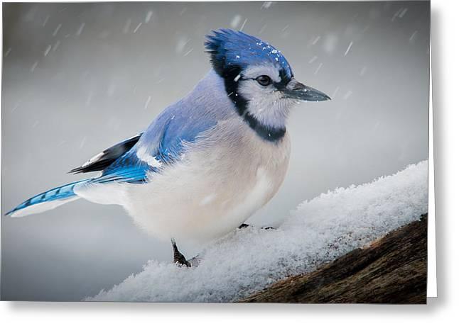 Snowy Jay Greeting Card