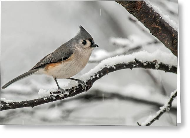 Snowy Little Titmouse Greeting Card by Lara Ellis