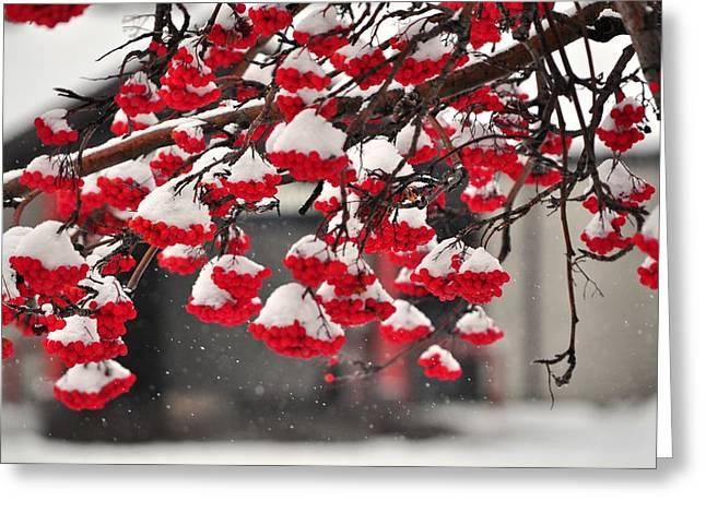Greeting Card featuring the photograph Snowy Mountain Ash Berries by Fran Riley