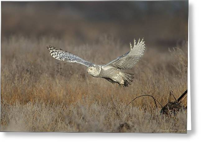 Snowy On The Wing Greeting Card by Daniel Behm