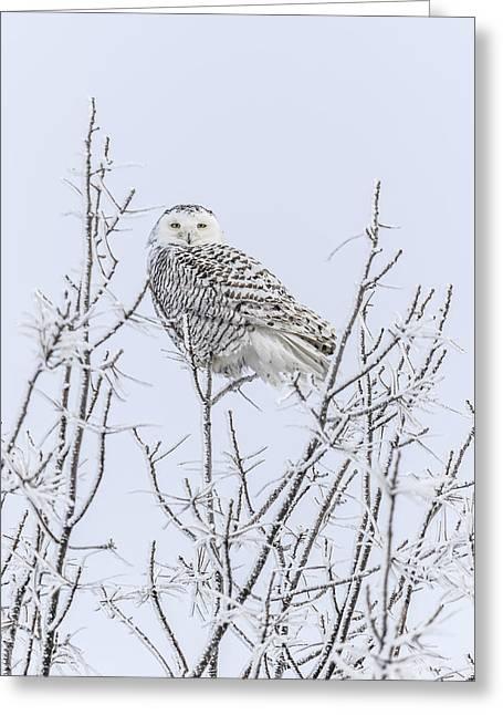 Snowy Owl 2014 4 Greeting Card