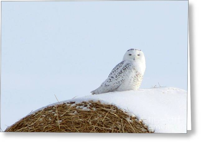 Greeting Card featuring the photograph Snowy Owl by Alyce Taylor