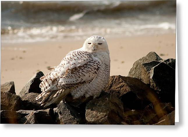 Snowy Owl At Forsythe Greeting Card