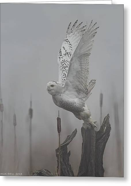 Snowy Owl Blastoff Greeting Card by Daniel Behm