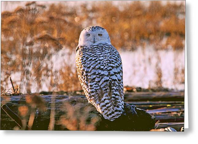 Snowy Owl Catching Some Winks Greeting Card by Peggy Collins