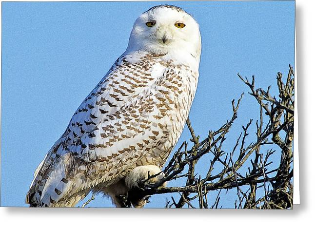 Greeting Card featuring the photograph Snowy Owl by Constantine Gregory