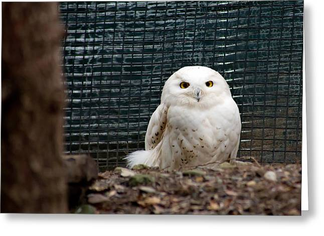 Greeting Card featuring the photograph Snowy Owl by Courtney Webster