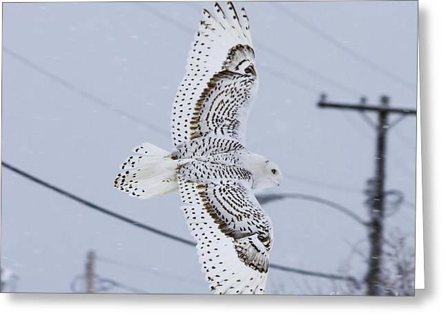 Snowy Owl Glides Into Town Greeting Card by Shane Borelli