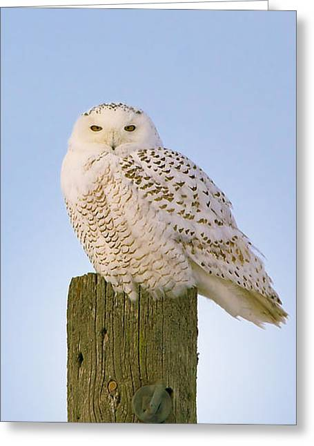 Snowy Owl - Harfang Des Neiges - Bubo Scandiacus Greeting Card by Nature and Wildlife Photography